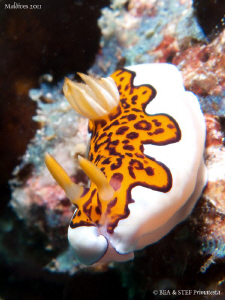 Chromodoris gleniei. by Bea & Stef Primatesta