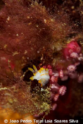 A tiny Limacia clavigera sniffing around. Shot using Cano... by Joao Pedro Tojal Loia Soares Silva