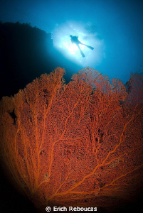 Giant gorgonian and diver by Erich Reboucas