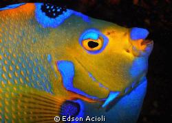 Queen Angelfish. Nikon D90; 60mm AF-S ED, strobes YS-120. by Edson Acioli