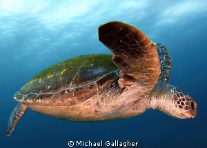 Green Sea Turtle cruising at Julian Rocks, Byron Bay, Aus... by Michael Gallagher