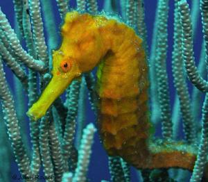 Longsnout Seahorse by John Roach