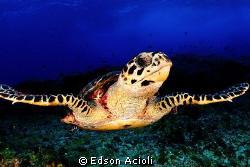 hawksbill turtle gliding. by Edson Acioli