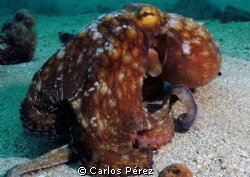 Octopus At Crash Boat Beach SeaLife Manual set by Carlos Pérez