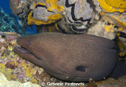Giant moray eel by Gabriele Pastonchi