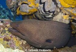 Giant moray eel by Gabriele Pastonchi