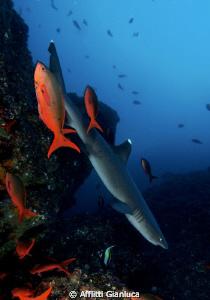 SHARK IN THE MARINE ENVIRONMENT by Afflitti Gianluca