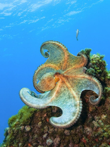 """One more photo from this [:b:] """"flamenco dancing Octopus[... by Roland Bach"""