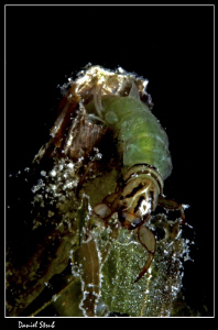 Phyrganea grandis :-D by Daniel Strub