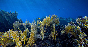 "Fire Coral Garden. Sigma 10-20 ( set to 10mm ) with ""magi... by Rico Besserdich"