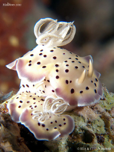 Chromodoris tritos. by Bea & Stef Primatesta