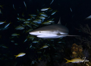 This image of was taken while this reef Shark made it's w... by Steven Anderson
