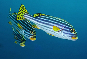 Sweetlips, Tulamben by Doug Anderson
