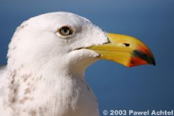 Pacific Seagul, distance to subject: ~1m (3ft)! Canon EO... by Pawel Achtel