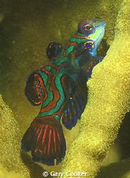 Mandarin Fish by Gary Coulter
