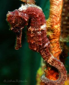 Longsnout Seahorse  Hippocampus reidi   Utila Honduras C.A. by John Roach
