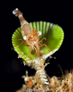 Jumping Shrimp by Jagwang Koo