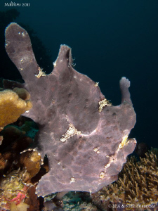 Frogfish. by Bea & Stef Primatesta