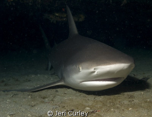 This reef shark was chillin' out under a ledge off of Jup... by Jeri Curley