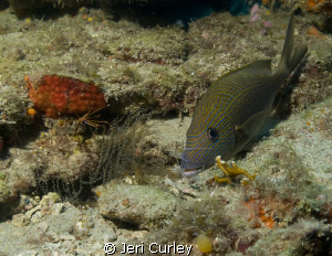This grunt was being cleaned by a Pederson cleaner shrimp... by Jeri Curley