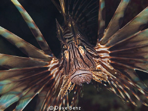 Lionsfish...even in the caribbean sea !!! by Dave Benz
