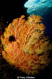 The slight pink to this orange Gorgonian reminds me of Co... by Tony Cherbas
