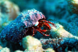 Small Hermit Crab Mauritius by Jean-Yves Bignoux