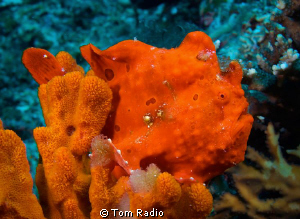 Painted Frogfish, Ambon, Indonesia by Tom Radio