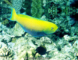 Parrotfish by Wiljo Jonsson