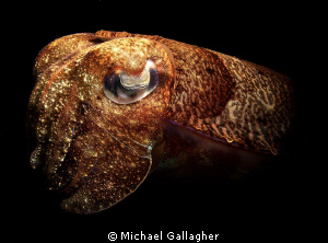 Cuttlefish at night, Lembeh, Indonesia by Michael Gallagher