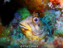 Lovely blenny! :D by Elia Correia