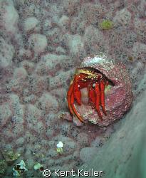 tiny Crab in sponge by Kent Keller