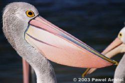 Australian Pelican at magic hour, Southern Australia, Can... by Pawel Achtel