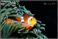 Clownfish.Nikon F100,60mm,f13,1/125,YS-120,RVP100. by Allen Lee