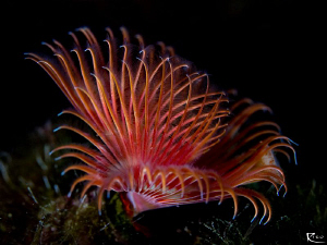Red Tubeworm by Rico Besserdich