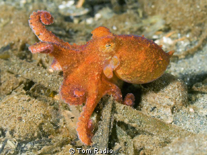 Juvenile Giant Pacific Octopus Puget Sound, Washington, ... by Tom Radio