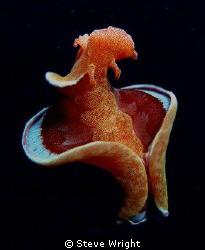 Spanish Dancer, Milne Bay PNG. Camera Olympus SP 550 UZ c... by Steve Wright