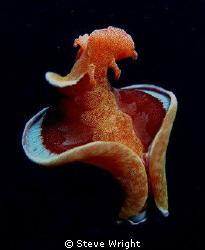 Spanish Dancer, Milne Bay PNG. Camera Olympus SP 550 UZ c... by Steve Wright