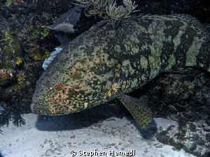 Grouper by Stephen Hamedl