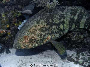 Grouper by Stephen Hamedl
