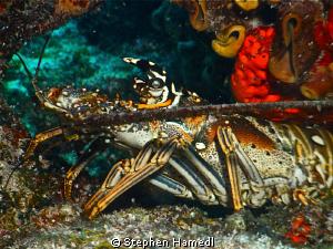Lobster by Stephen Hamedl