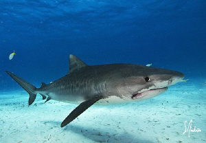 A watchful Tiger Shark eyes me up as I get a wide angle s... by Steven Anderson