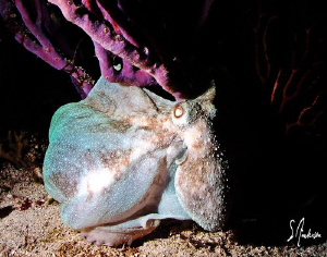 This image of an octopus was taken during a dive off Vill... by Steven Anderson