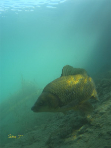 Common carp by Sven Tramaux