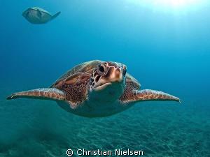 Green turtles, El Puertito, Tenerife. Olympus E330, 8mm f... by Christian Nielsen