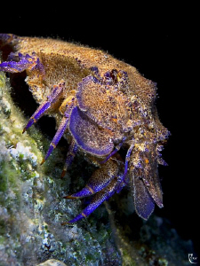 Spanish Lobster ( nightdive ). F 9.5, 1/90 sc., ISO 200. ... by Rico Besserdich