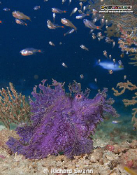 Scarlet the Scorpionfish (Rhinopias frondosa) wondering w... by Richard Swann