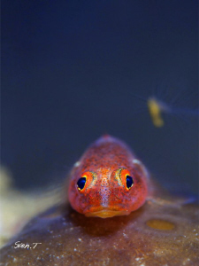 Goby by Sven Tramaux