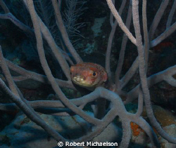 Porcupine fish near Capt Don's Bonaire. Sealife DC 1000, ... by Robert Michaelson