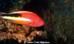 Adult Hawkfish Freckeled Mauritius by Jean-Yves Bignoux